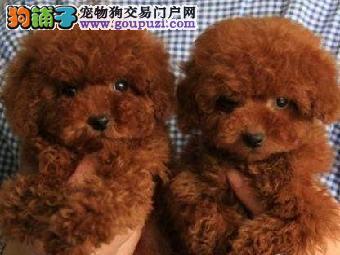 狗场专业繁殖出售 泰迪比熊博美等小型犬