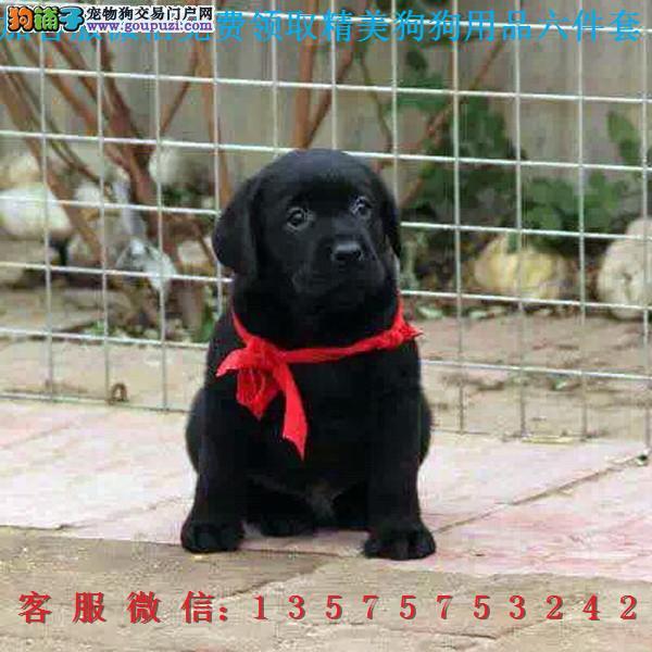赛级品相 拉布拉多幼犬低价出售期待您的咨询