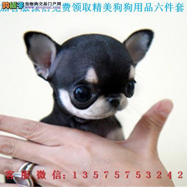 赛级品相 吉娃娃幼犬低价出售期待您的咨询