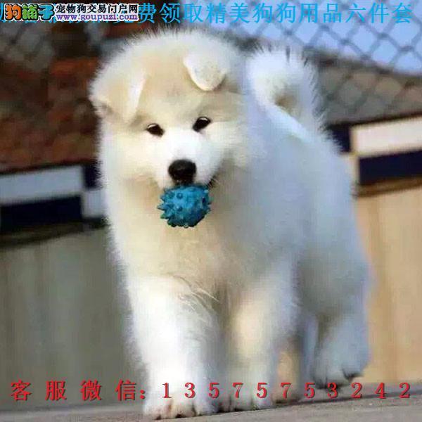 赛级品相阿拉斯加幼犬低价出售期待您的咨询