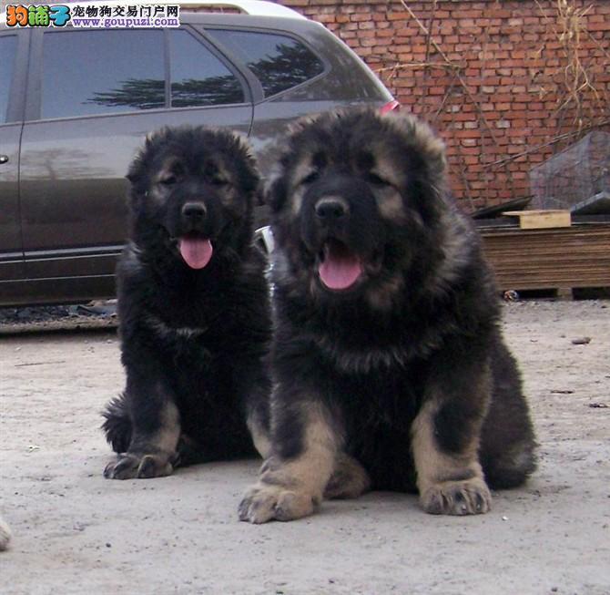 纯种高加索奇幼犬,保证健康