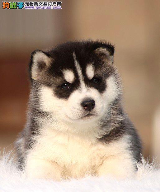 纯种哈士奇幼犬,保证健康,血统纯正