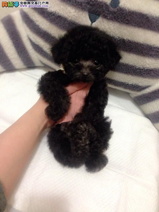 自己家繁殖的茶杯幼犬,出售
