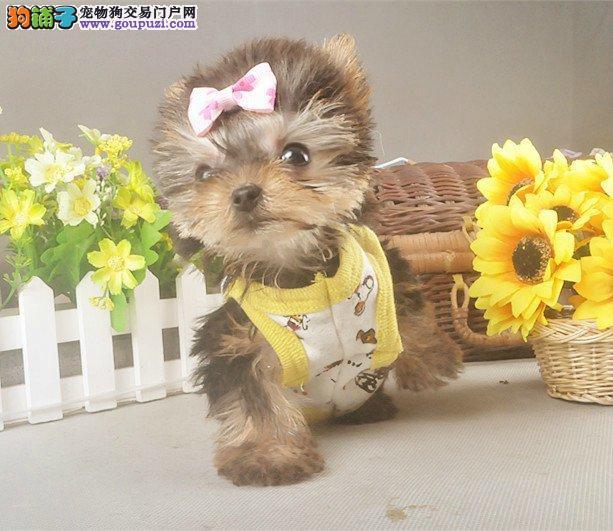 纯种约克夏幼犬,保证健康,血统纯正