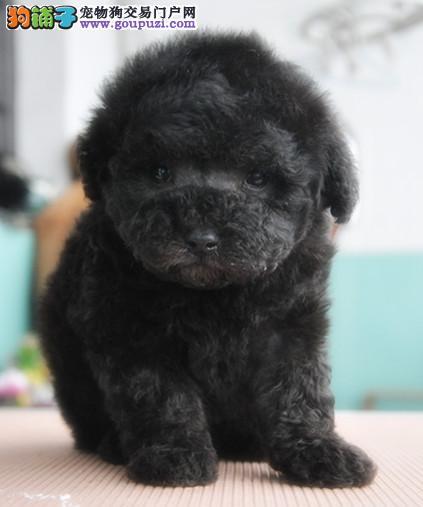 精品泰迪幼犬,保证健康,血统纯正