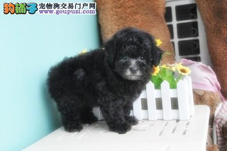 泰迪幼犬,保证健康,血统纯正