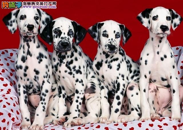 精品斑点幼犬,保证健康,血统纯正