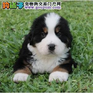 康氏犬业出售纯种伯恩山幼犬,保健康