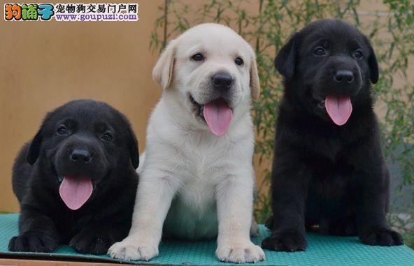 康氏犬业出售纯种拉布拉多幼犬,保健康