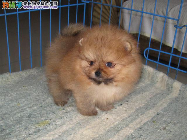 康氏犬业出售纯种博美幼犬,保健康