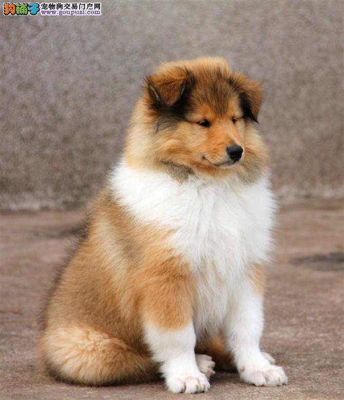 康氏犬业出售纯种苏格兰牧羊犬幼犬,保健康