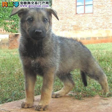 出售纯种狼狗幼犬,保健康,可送货上门