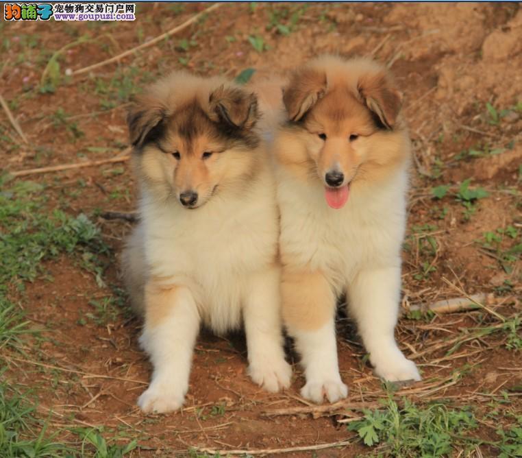 专业狗场出售纯种苏格兰牧羊犬,保证健康,可送货上门