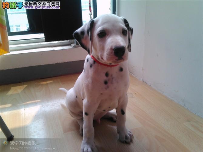 专业狗场出售纯种斑点狗幼犬,保证健康,可送货上门