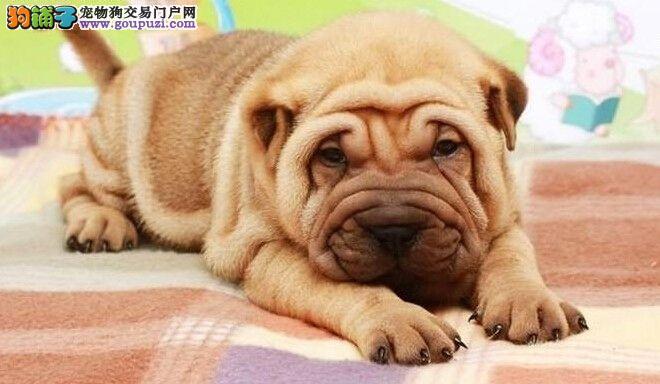 专业狗场出售纯种沙皮狗幼犬,保证健康,可送货上门