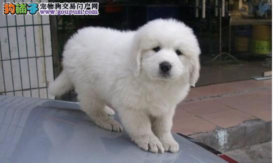 专业狗场出售纯种大白熊幼犬,保证健康,可送货上门