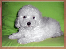 正规狗场售纯种泰迪幼犬,保证健康,可送货上门
