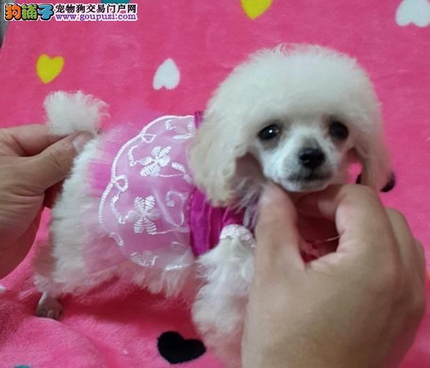 专业狗场售纯种贵宾幼犬,保证健康,可送货上门