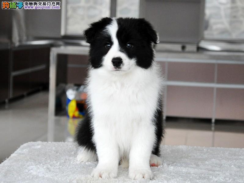 专业狗场售纯种边境牧羊幼犬,保证健康,可送货上门