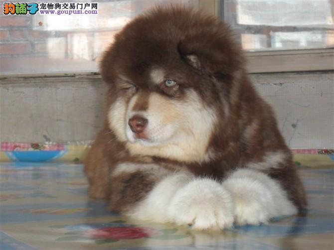 专业狗场售纯种阿拉斯加幼犬,保证健康,可送货上门