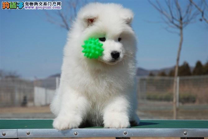 专业狗场售纯种萨摩耶幼犬,保证健康,可送货上门