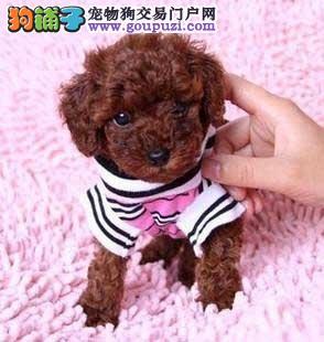 专业狗场售纯种泰迪幼犬,保证健康,可送货上门
