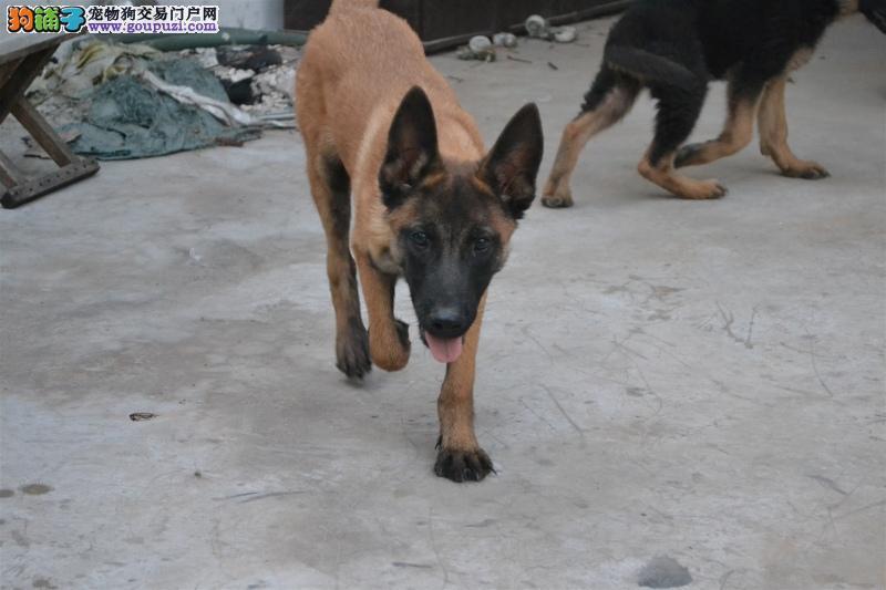 专业狗场售纯种马犬幼犬,保证健康,可送货上门