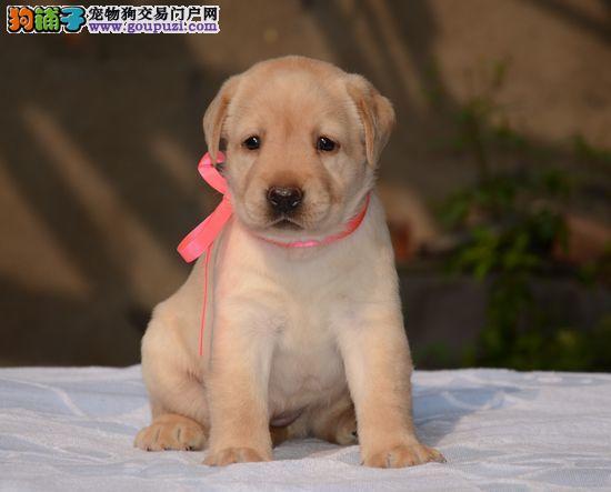 专业狗场售纯种拉布拉多幼犬,保证健康,可送货上门