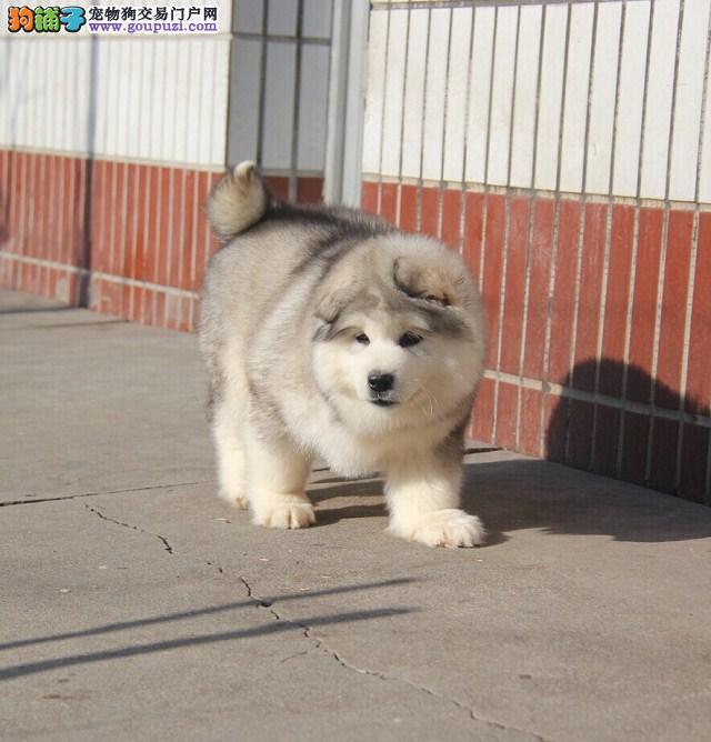 纯种阿拉斯加幼犬,保证健康,血统纯正