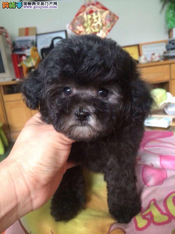 纯种泰迪幼犬,保证健康,血统纯正