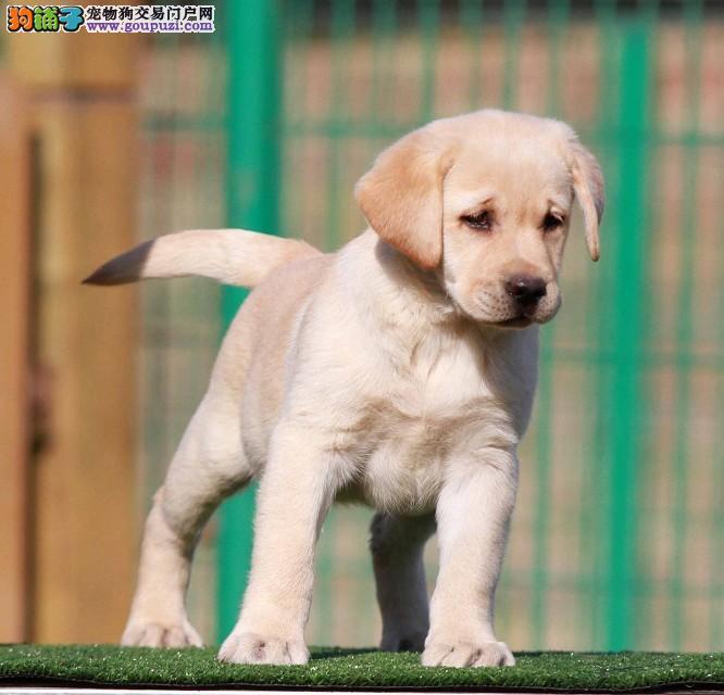纯种拉布拉多幼犬,保证健康,血统纯正