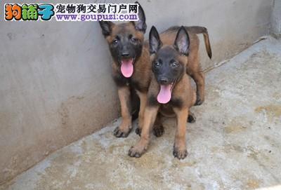自家狗场出售纯种健康马犬幼犬