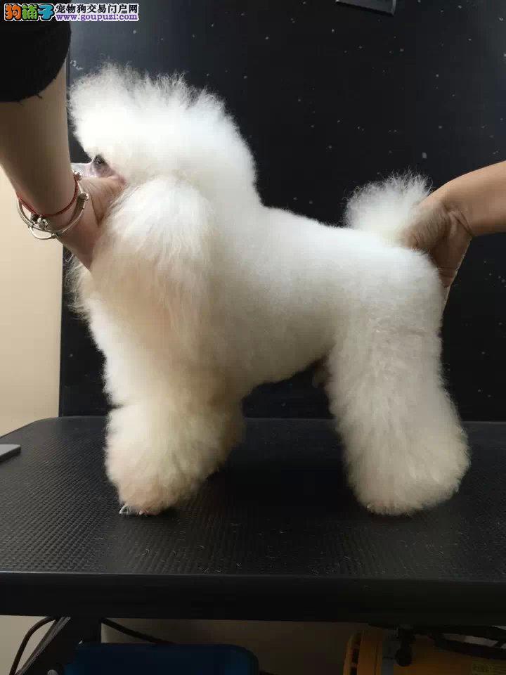 超萌的贵宾犬对外出售。可签订健康协议书