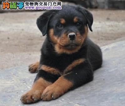 自家狗场出售纯种健康罗威纳幼犬
