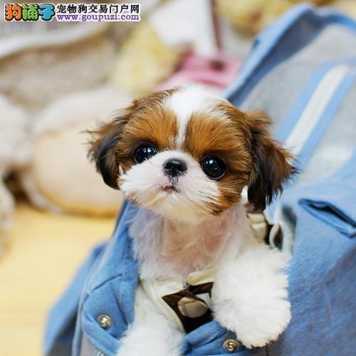 官方保障|犬舍繁殖纯种西施犬 纯种健康养活 可签协议