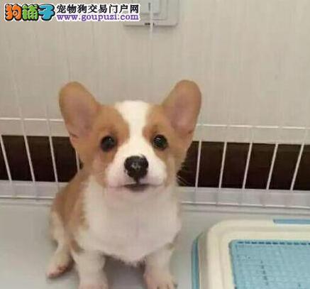 官方保障|犬舍繁殖纯种柯基 包纯种健康养活 送货上门