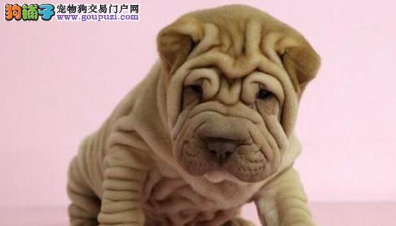 官方保障 犬舍繁殖纯种沙皮 包纯种健康养活 送货上门