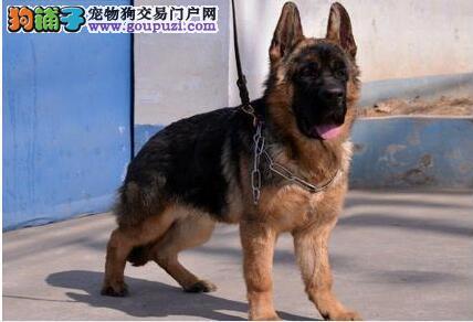 官方保障 犬舍繁殖纯种狼狗 包纯种健康养活 送货上门