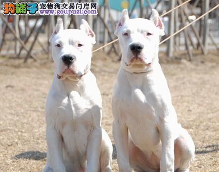 官方保障|犬舍繁殖纯种杜高 纯种健康养活 可签协议