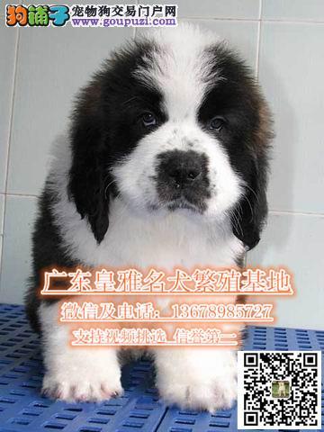 广州哪里有出售圣伯纳犬基地直销巨大威猛圣伯纳犬