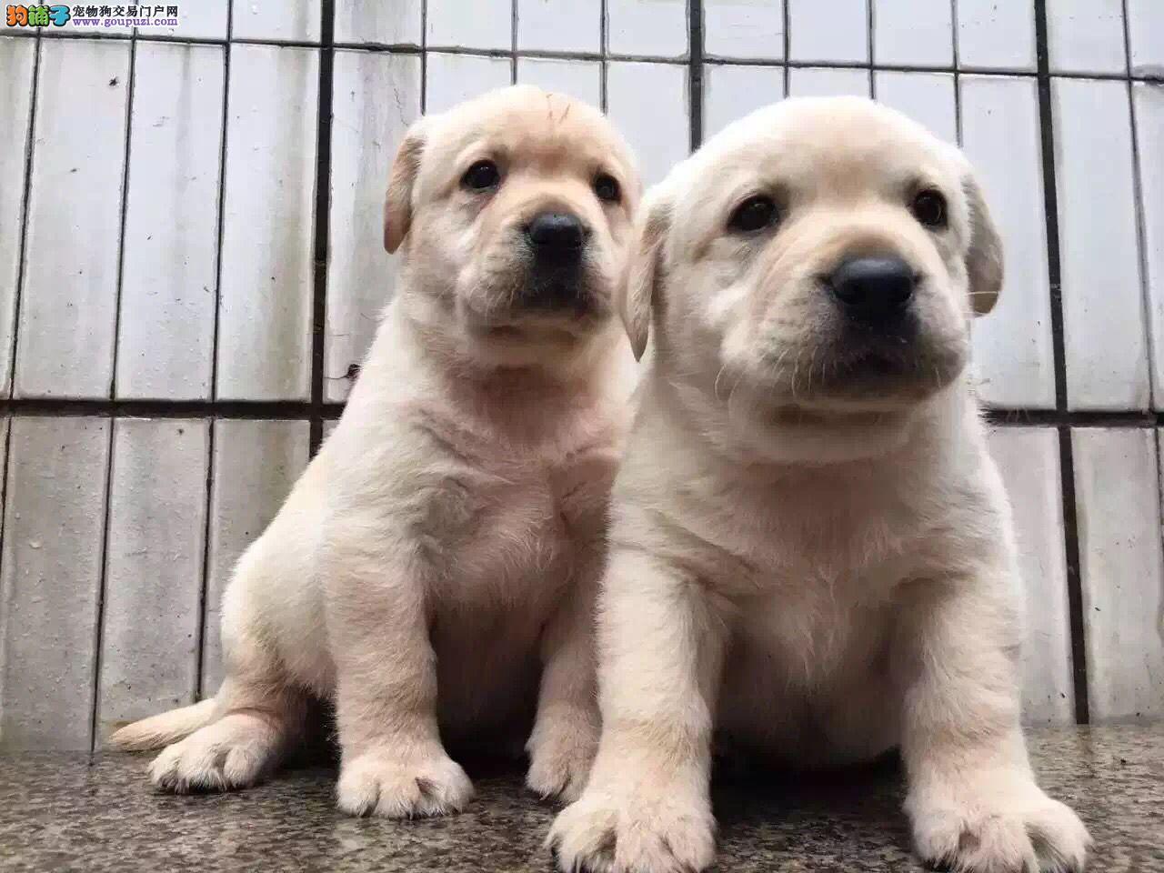 基地直销精品拉布拉多 各纯种名犬