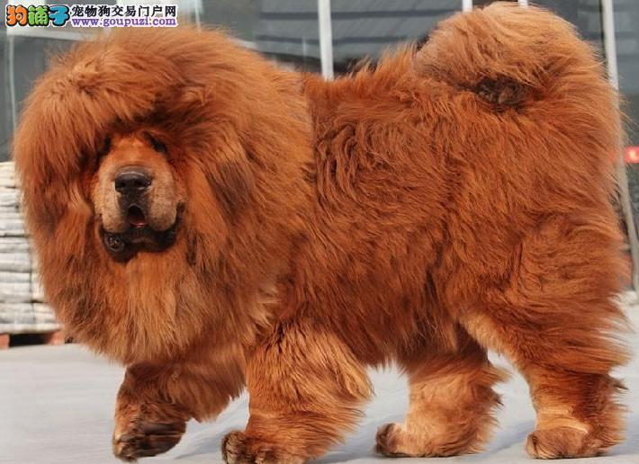 本地正规犬场一出售高品质松狮一包养活,可送货上门