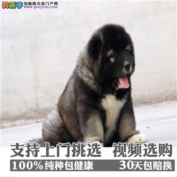 高加索犬舍出售俄罗斯护卫犬巨型熊版高加索犬幼犬