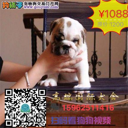 高端国际犬舍纯种带证美国斗牛犬出售支持来犬舍选购