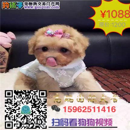 高端国际犬舍赛级高品质娃娃脸泰迪幼犬火爆热销