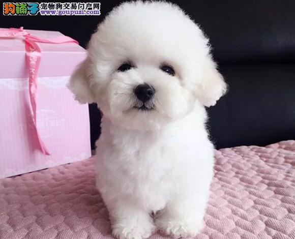 健康精品诚信交易专业繁殖出售各类小型犬贵宾犬
