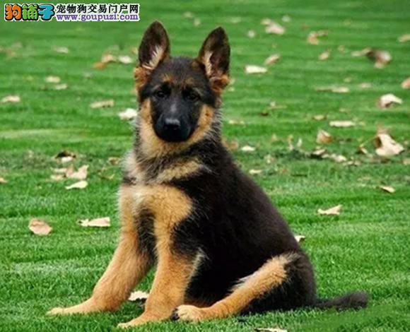 德国牧羊犬优秀的工作犬天津犬舍出售