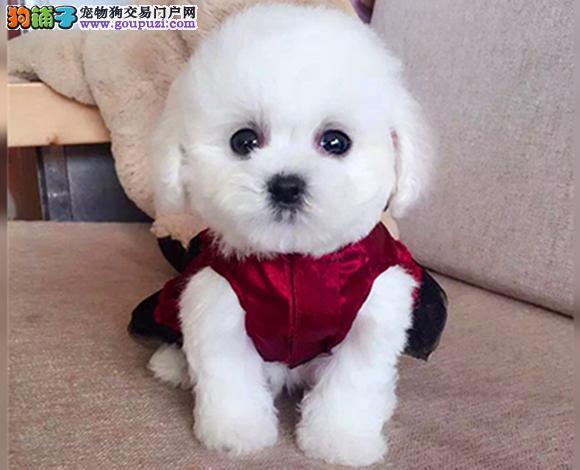 比熊犬纯种幼犬出售家养活体茶杯 长不大 长毛