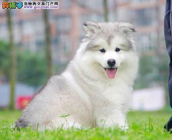 犬舍销售阿拉斯加雪橇犬包养活疫苗做好的