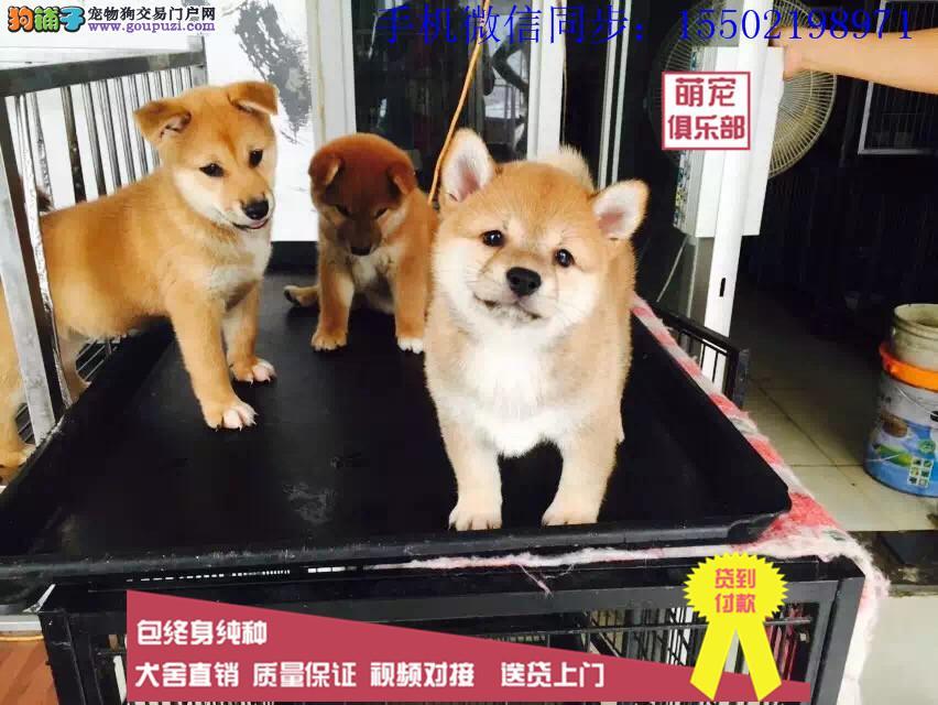 日本进口柴犬专卖 多窝小柴犬热销中 专业繁殖纯正 .0
